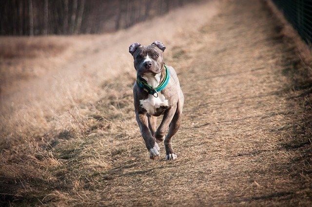 Pitbull dog breed